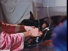 Vet preparing IV for injured dog on operating table, 1970s Stock Footage