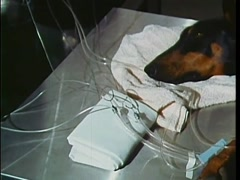 Doberman Pinscher receiving a blood transfusion, 1970s Stock Footage