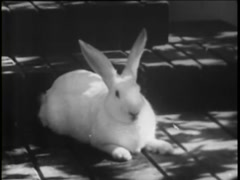 White bunny rabbit relaxing on front porch, 1930s - stock footage