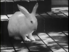White bunny rabbit washing his face on front porch, 1930s Stock Footage