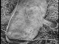 Live catfish with hook in mouth lying in hay, 1940s Stock Footage