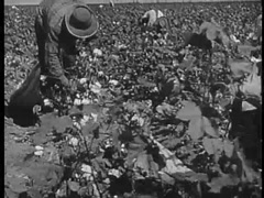 Panning shot of a group of workers picking cotton in a field, 1940s Stock Footage