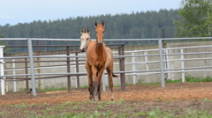 Beautiful colts posing in paddock Stock Footage