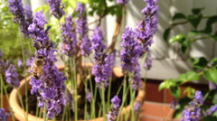 Bee collects nektar from lavender on a balcony Stock Footage