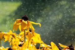 Warm summer rain drops on yellow flowers Stock Photos