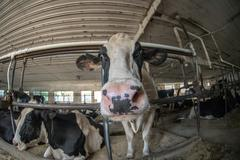 Cows inside amish america stable while looking at you Stock Photos