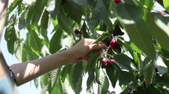 Young people pick ripe delicious sweet cherries berries from the tree branches Stock Footage