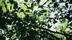 Green Plum branch in the garden Stock Footage