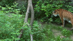 Tiger in a zoo. Stock Footage