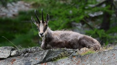 Alpine chamois resting on rock and chewing the cud - stock footage