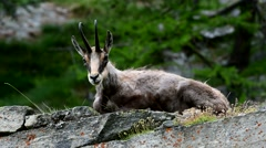 Alpine chamois resting on rock and chewing the cud Stock Footage