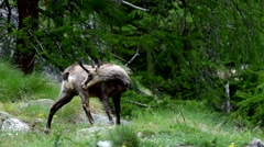 Alpine chamois grooming fur and scratching back with horns Stock Footage