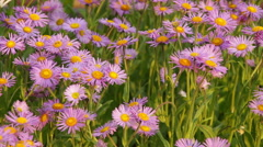 Chamomile Flowers on a Sunny Day Stock Footage