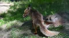 Red fox sleeping curled up and partner passing by to greet - stock footage
