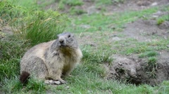 Alpine marmot in front of entrance of burrow in the Alps Stock Footage