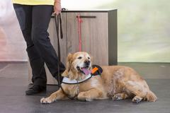Guide and assistance dog - stock photo