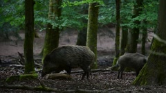 Wild boar (Sus scrofa) sow licking piglet in forest Stock Footage