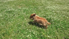 A happy, healthy poppy dog running in a park, slow motion steadicam shot Stock Footage