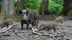 Wild boar (Sus scrofa) with piglets foraging in forest in spring Stock Footage