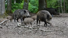 Wild boar (Sus scrofa) sounder with piglets foraging in forest in spring Stock Footage