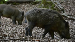 Wild boar (Sus scrofa) sow with juvenile foraging in forest Stock Footage