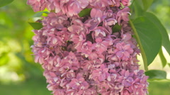 Lilac Flowers Blossom In Spring Stock Footage