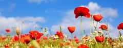 Poppies on blue sky background. Stock Photos