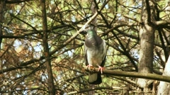 Wild Pigeon On The Branch Stock Footage
