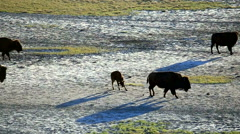 Bison grazing in the Utah landscape Stock Footage
