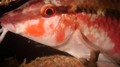 Goatfish with cleaner shrump Stock Footage
