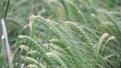 Ears of wheat Caressed by Wind Stock Footage