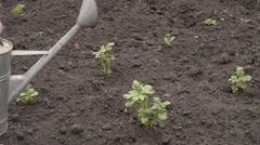 Woman watering potato bushes Stock Footage
