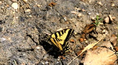 Tiger Swallow Tail butterflies fluttering Stock Footage
