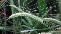Green Spring Wheat Field, Agriculture, POV Stock Footage