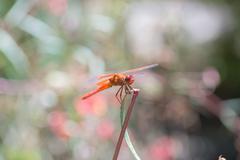 Flame (firecracker) Skimmer - Libellula saturata dragonfly Stock Photos