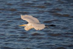 Great White Heron (Ardea alba) in flight; Alviso, CA - stock photo