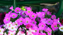 Footage pink flowers fanned by the wind. HD video Stock Footage