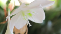 Puerto rico flower closeup Stock Footage