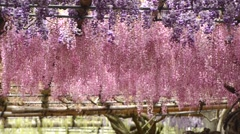 Wisteria tunnel, the fantastical world full of Wisteria flowers Stock Footage