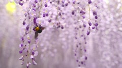 Bumble bee flying around Wisteria tunnel Stock Footage
