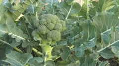Organic Broccoli being harvested in home garden 4k footage Stock Footage