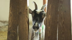 goat looking through a crack in the fence - stock footage
