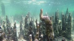 The roots of the mangrove trees under water. Stock Footage