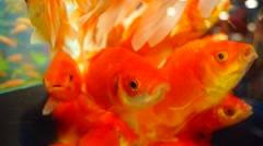 Ornamental fish - stock footage