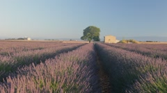 Endless Rows Of Beautiful Lavender Field - stock footage