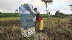 Two balinese farmers threshing rice by hand in fields of Ubud, Bali Stock Footage
