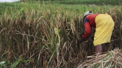 Balinese farmer cutting bundle of rice by sickle in fields of Ubud, Bali Stock Footage