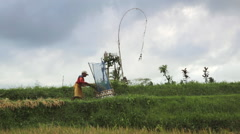 Ndonesian farmer threshing rice and moving the basket during harvest in Bali Stock Footage