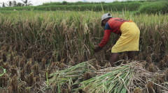 Balinese farmer cuts bundles of rice by sickle in fields of Ubud, Bali - stock footage