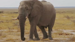 Big african elephants on Etosha national park Stock Footage